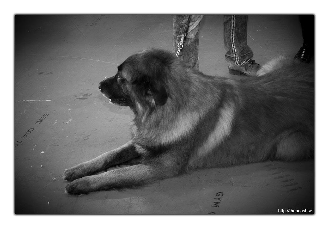 Väntande hund